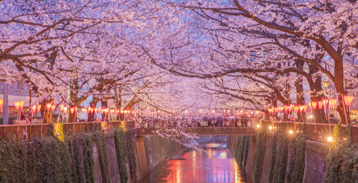 7 things you didn't know about cherry blossom