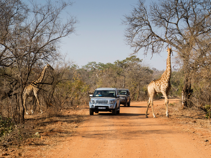 New Tailormade South Africa Girrafe on road Kruger