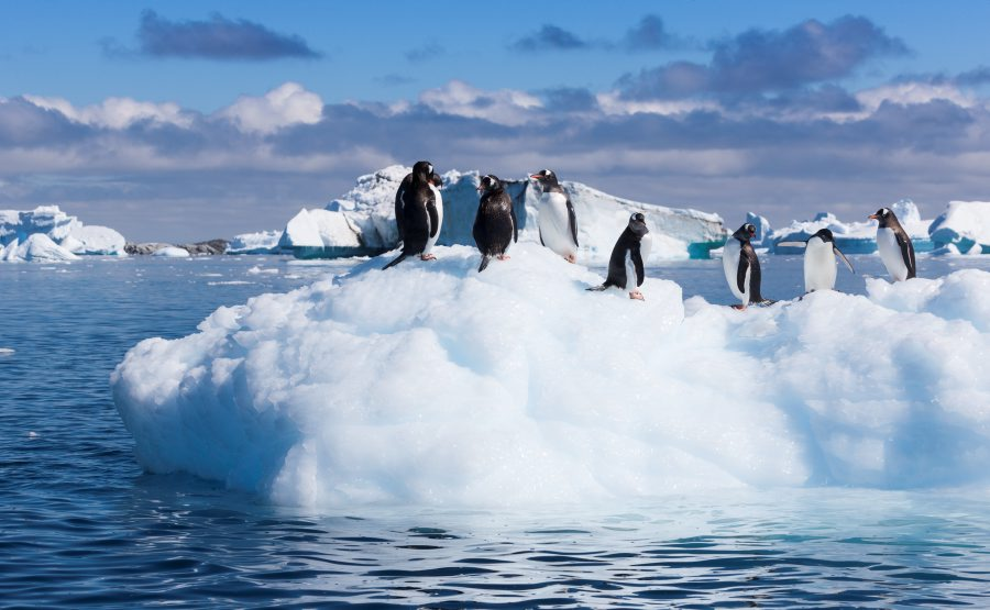 Gentoo penguins on an ice floe