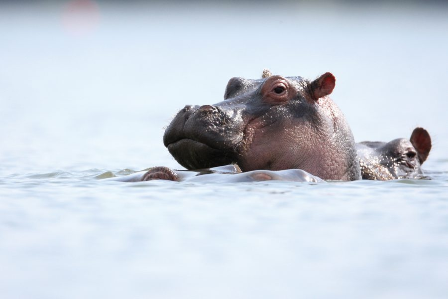 Hippo basking in the water
