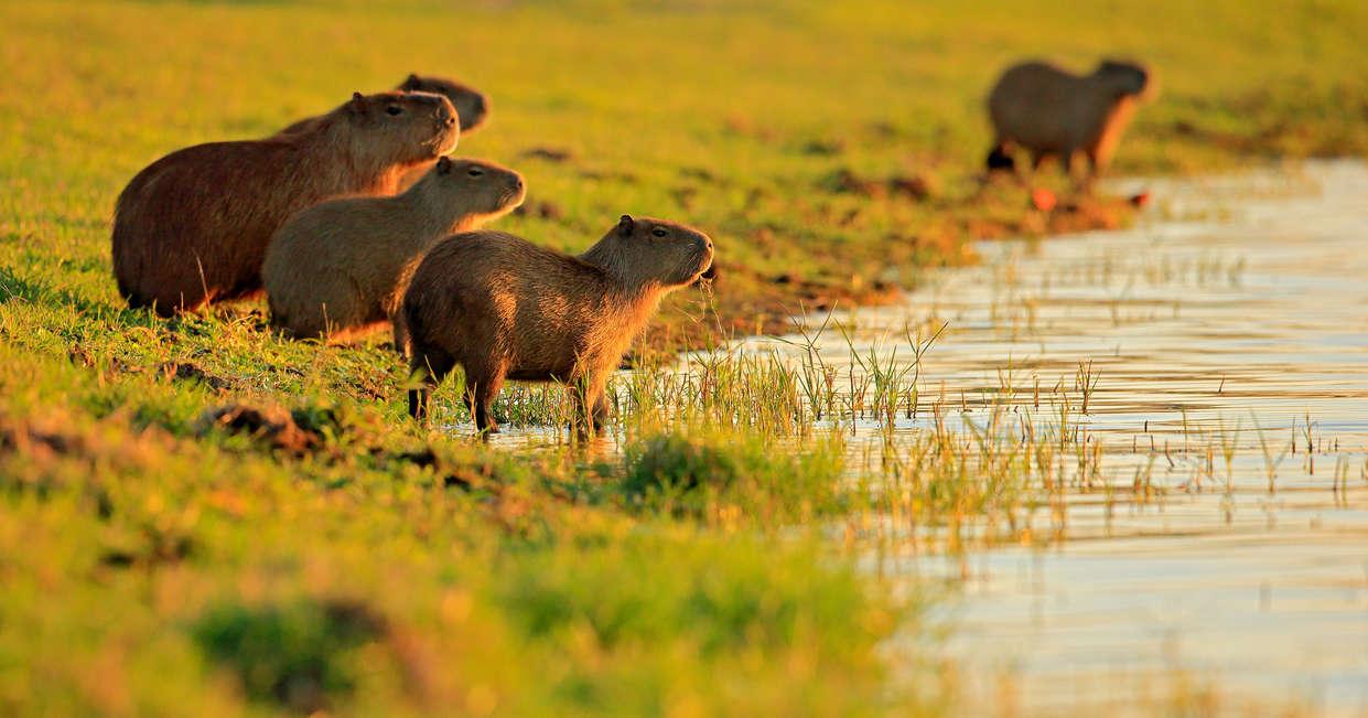 Capybara in the Pantanal