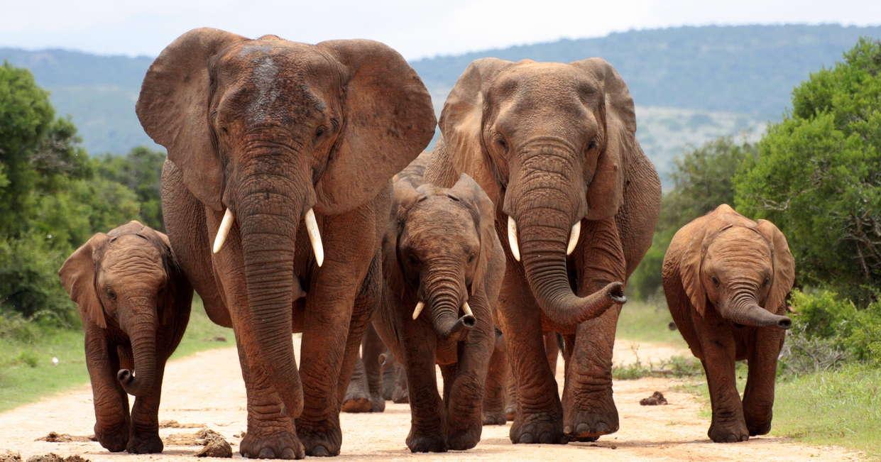 Elephants, Addo National Park