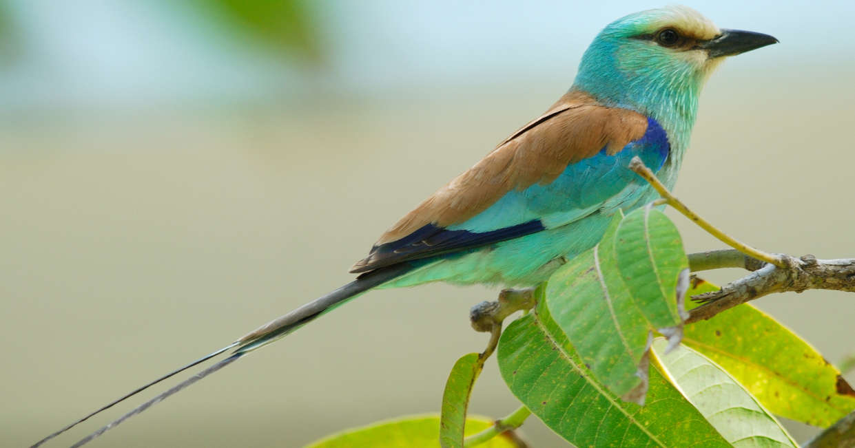 Abyssinian Roller, Gambia River