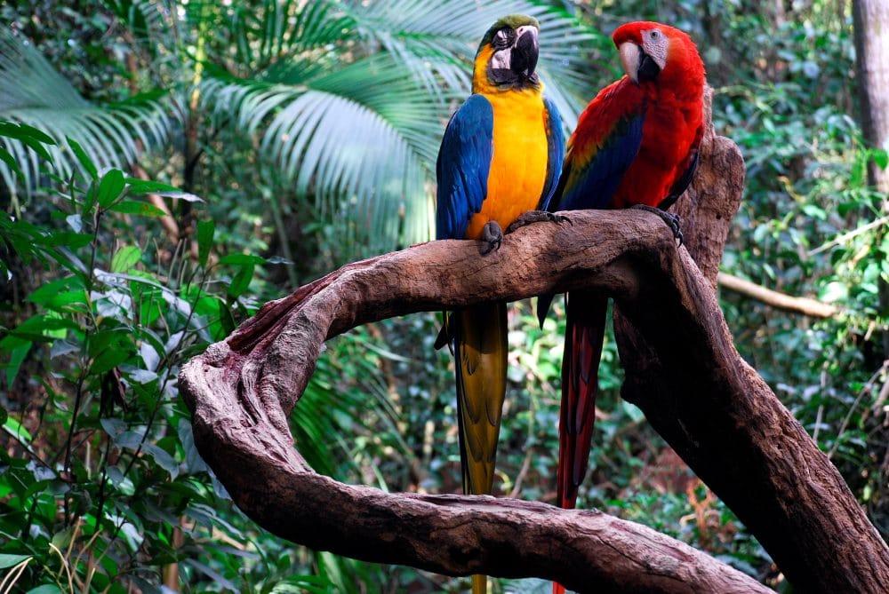 Amazon Macaws