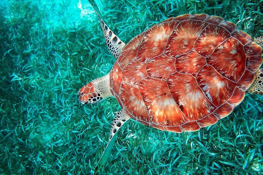 Turtle at the Hol Chan marine reserve