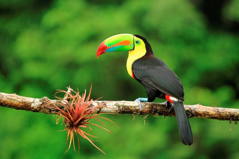 Keel Billed Toucan in Costa Rica