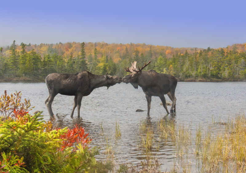 Moose in the Baxter State Park
