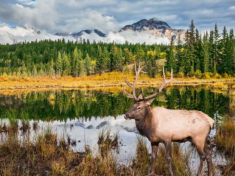 Deer in Jasper National Park